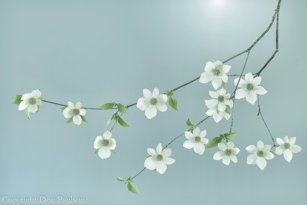 Pacific Dogwood Blossoms (Mint Tone)
