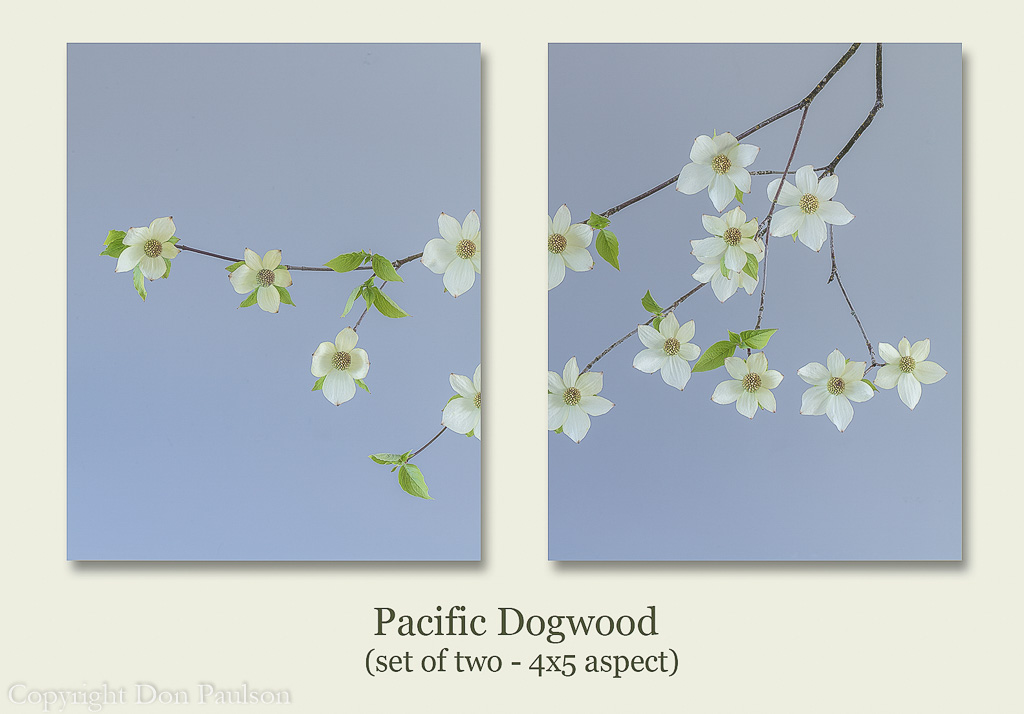 Pacific Dogwood Blossoms