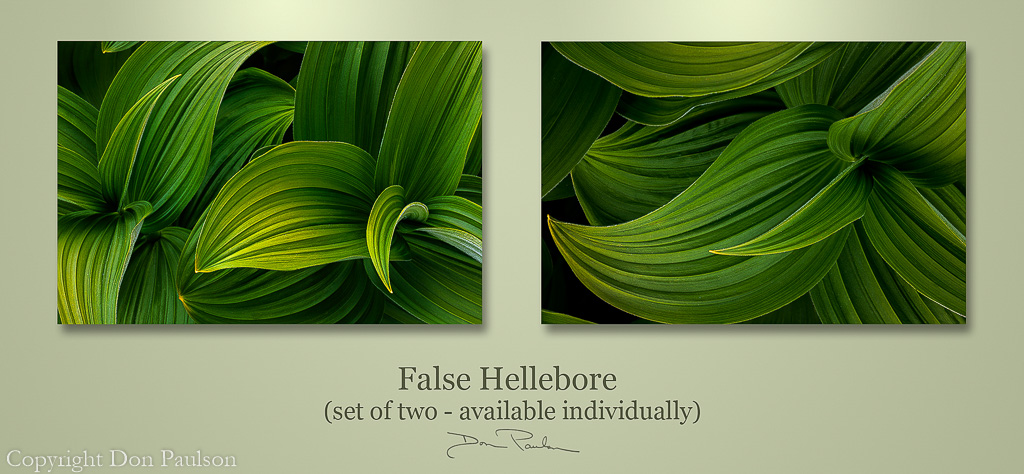 False Hellebore leaves, matching pair