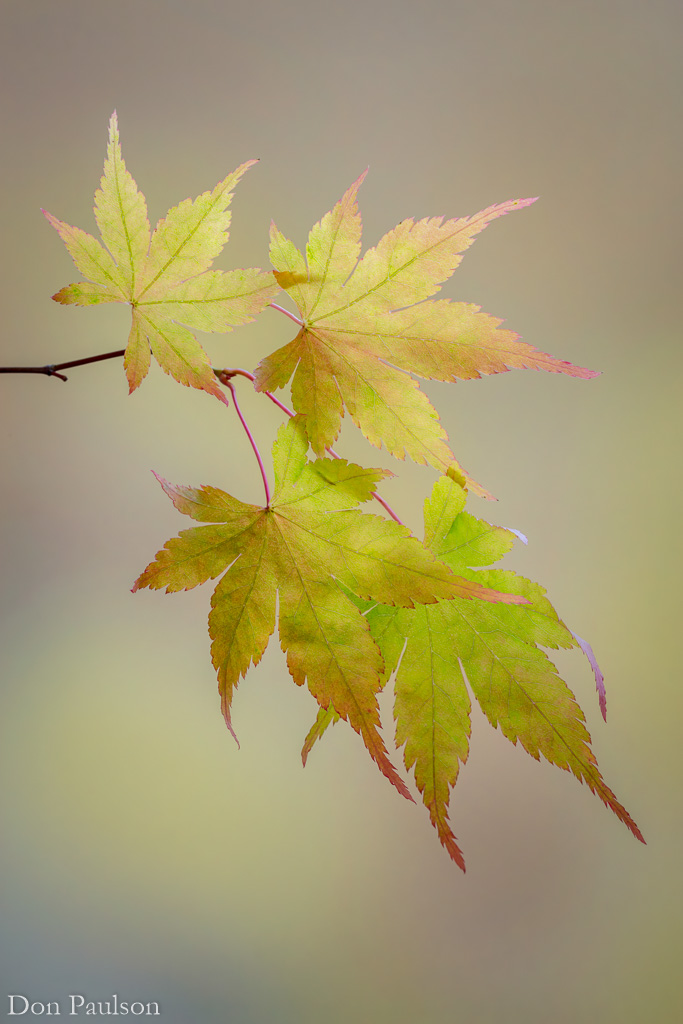 Japanese maple leaves in fall