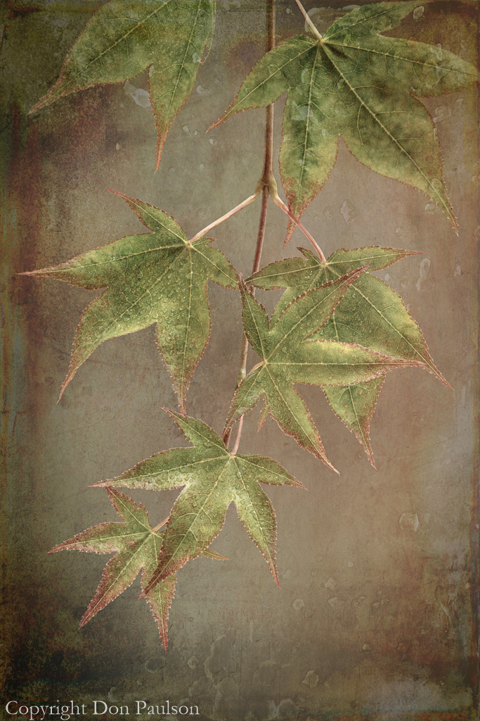 Japanese Maple Leaves- Photographed at 50.6 mega pixels