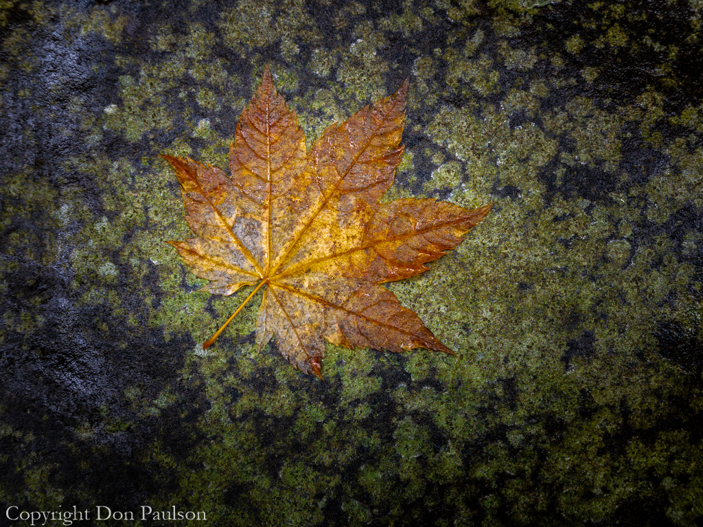 Vine Maple Leaf on Rock
