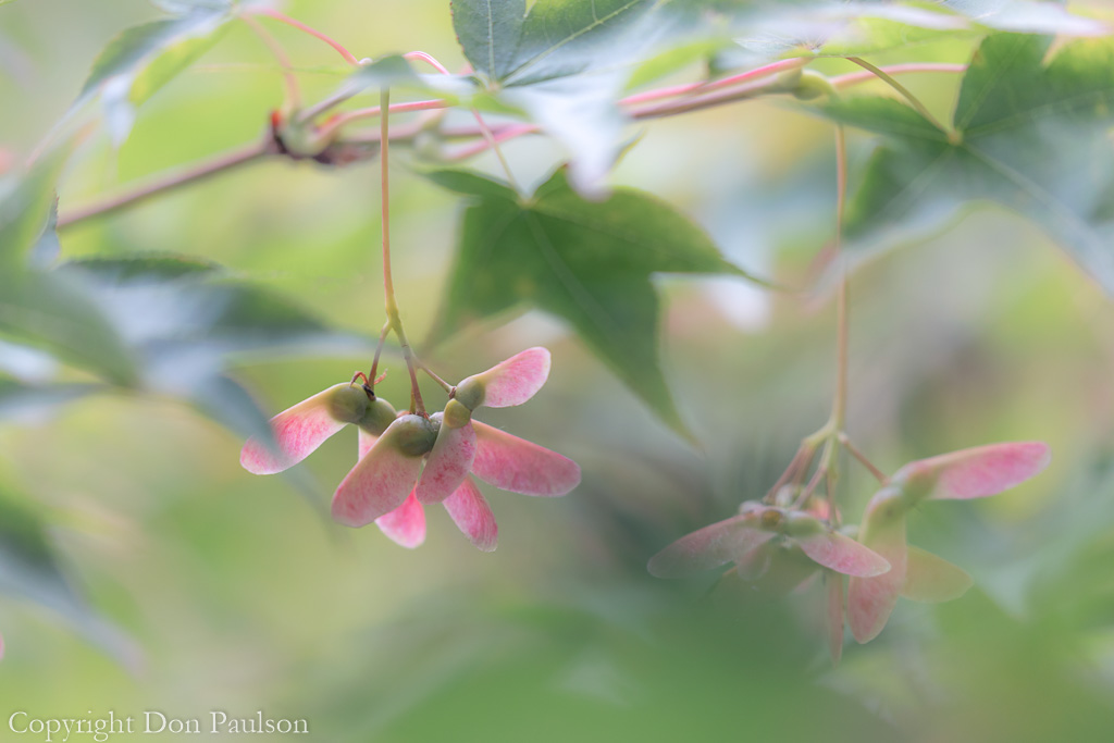 Seed Heads of a Japanese Maple Tree
