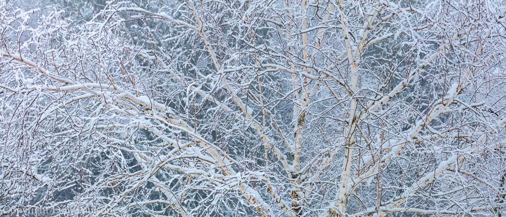 Snow Covered Birch