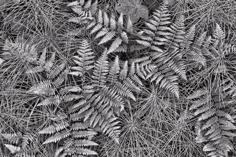 Bracken Ferns and Horsetail