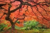 Fall Maple Tree, Japanese Gardens, Portland, Oregon
