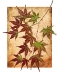 Japanese Maple Leaves-1