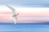 Hood Canal (Panning Camera during exposure) Arctic Tern composite