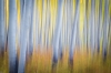 Abstract motion blur of aspen trees, Ohio Pass area, Colorado