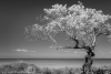 Lone Tree-1