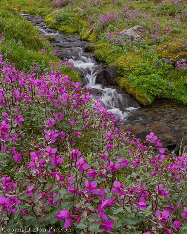 River Beauty (Epilobium latifolium) - Alaska, Hatcher Pass area, Upper Willow Creek