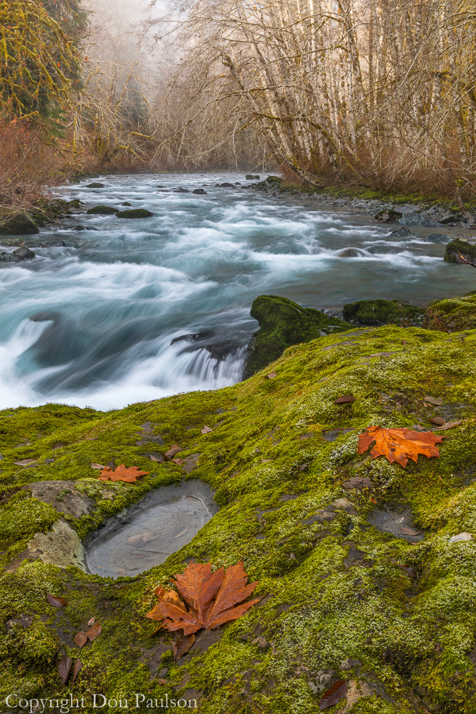 Bigleaf maple leaves on a moss covered river bank
