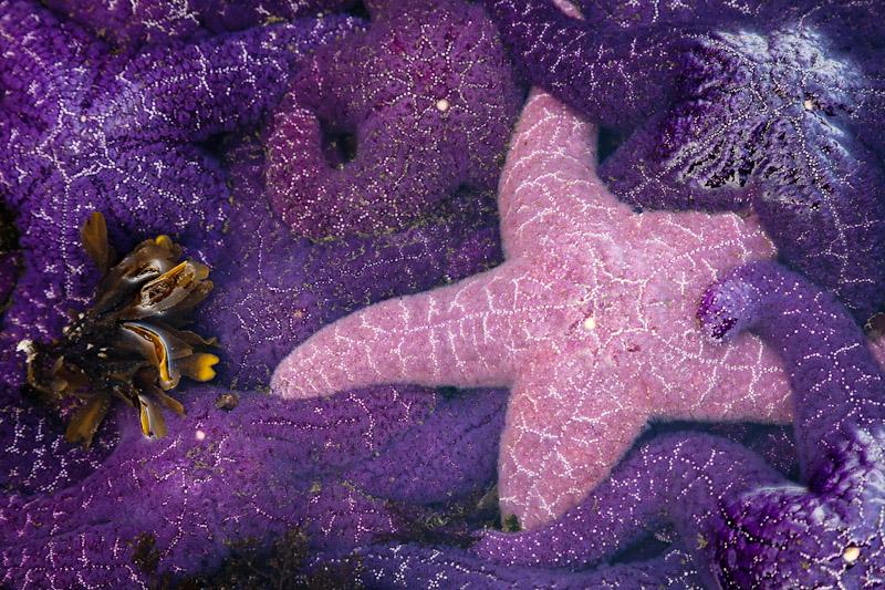 Group of Starfish, Patos Island