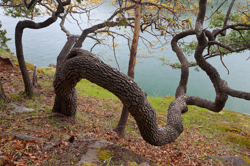 Knarled Oaks, Stuart Island, San Juan Islands, Washington