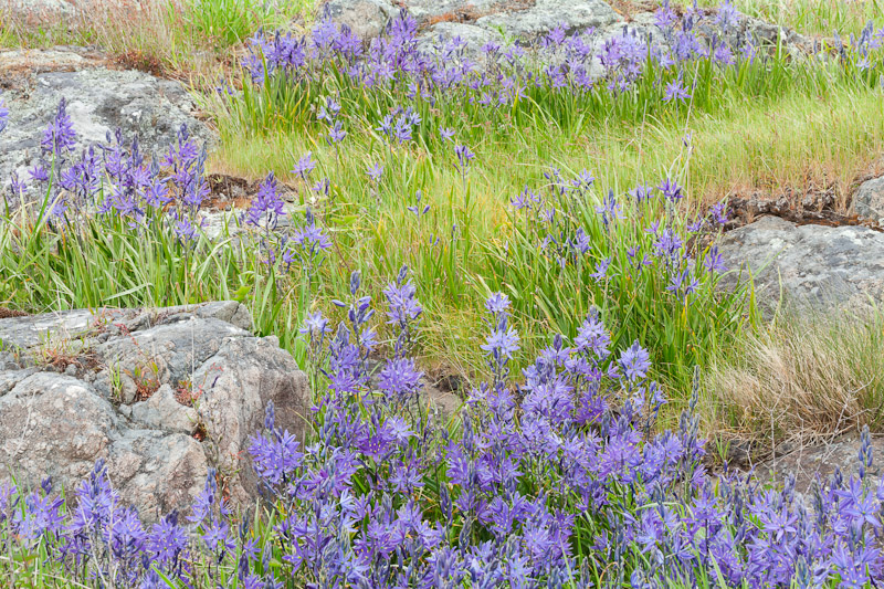 Wildflowers at Yellow Island