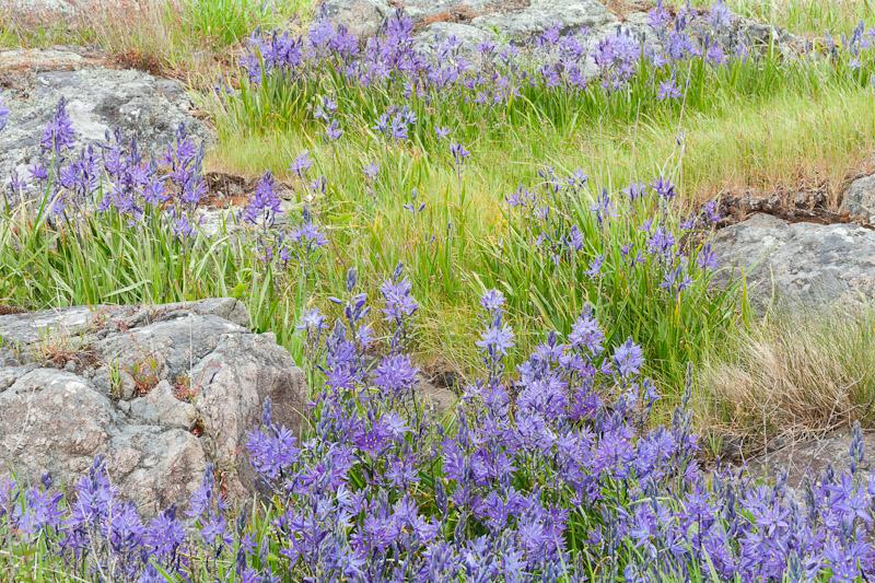Wildflowers at Yellow Island
