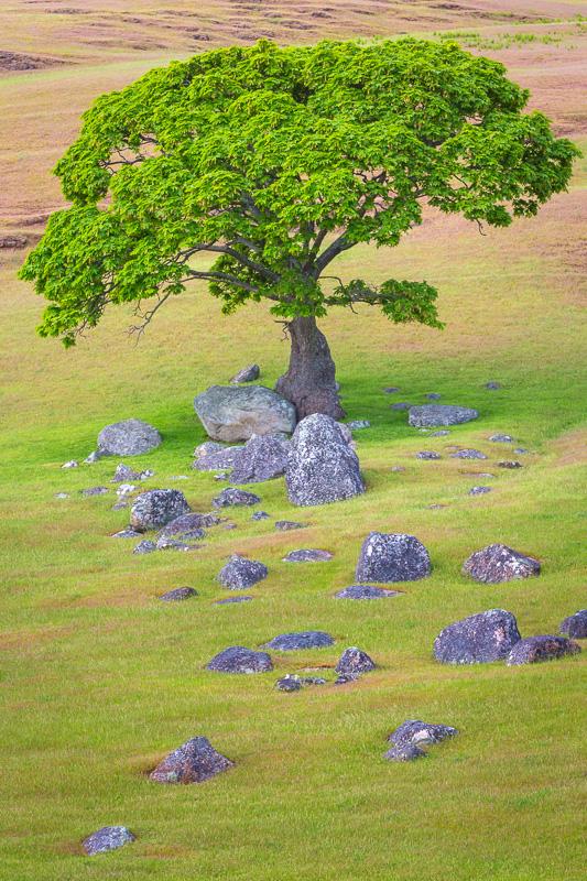 Maple tree, Spieden Island, San Juan Islands, Washington