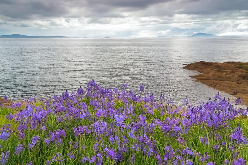 Camas blooms on Sucia Island in the San Juan Islands, Washington