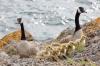 Canada Geese, Matia Island, San Juan Island, Washington