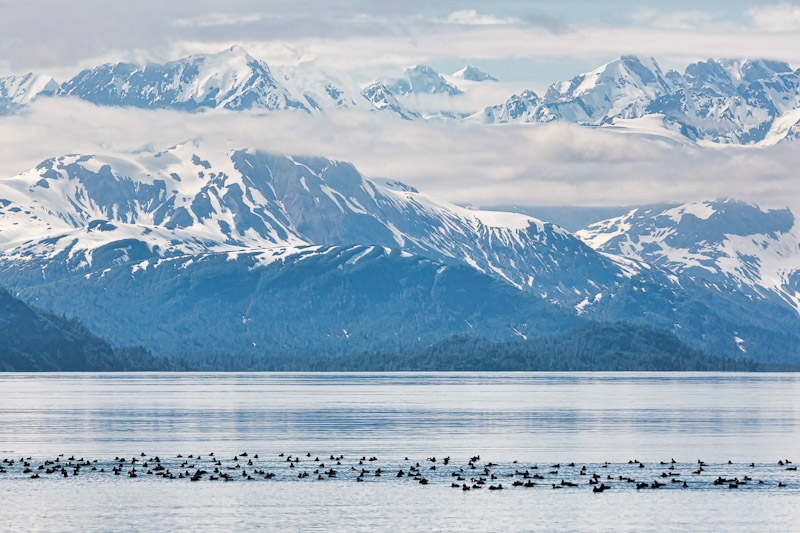 Surf Scoters, near Gloomy Knob, Glacier Bay National Park, Alaska