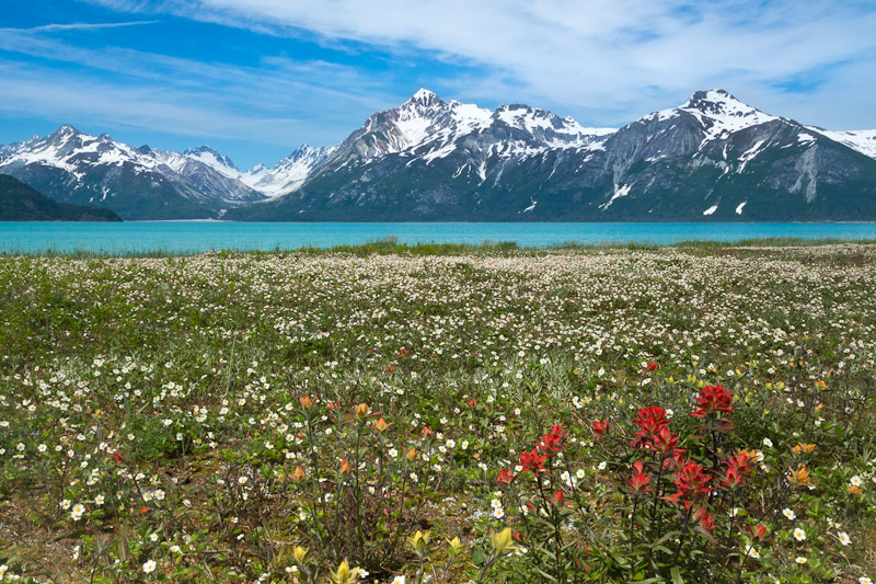 Wild Strawberry flowers and red paintbrush, North of Gilbert Bay, Glacier Bay National Park, Alaska