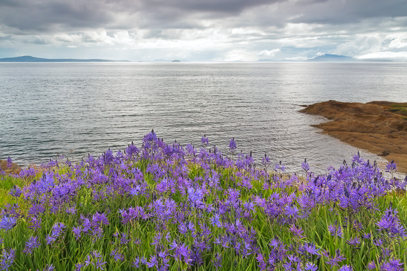 Camas blooms on Sucia Island in the San Juan Islands, Washington