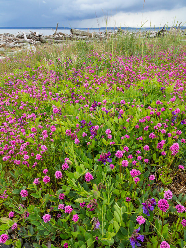 Sea blush and vetch, Ebey's Landing National Historical Reserve , Washington