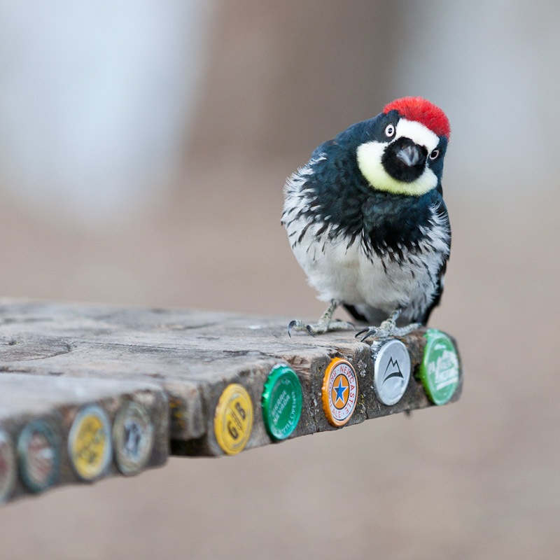 Acorn Woodpecker on a picnic table, San Antonio Reservoir, California