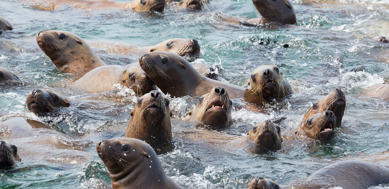 Steller Sea lions, Marble Island area, Glacier Bay National Park