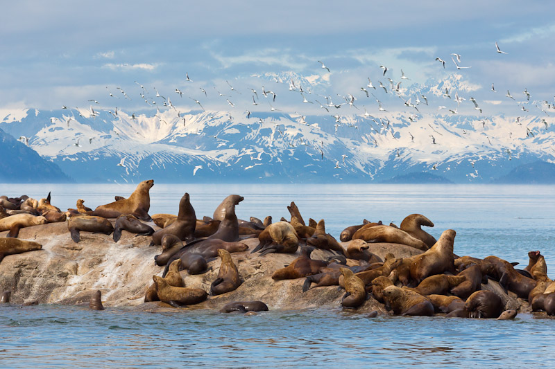 Steller Sea lions and black-legged kittiwakes, Glacier Bay National Park