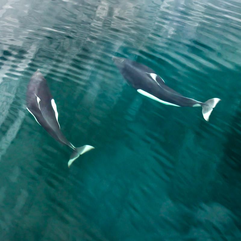 Two Dall Porpoise, Seymore Canal, Southeast Alaska