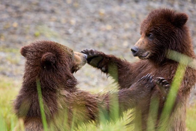 Close up, Brown bear cubs playing, Southeast Alaska