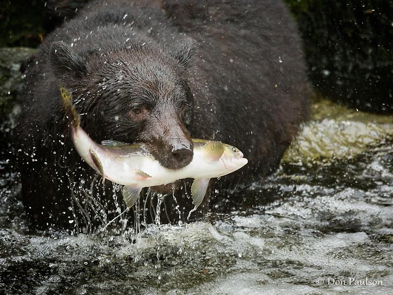 Black Bear, Anan Creek, near Wrangell, Alaska