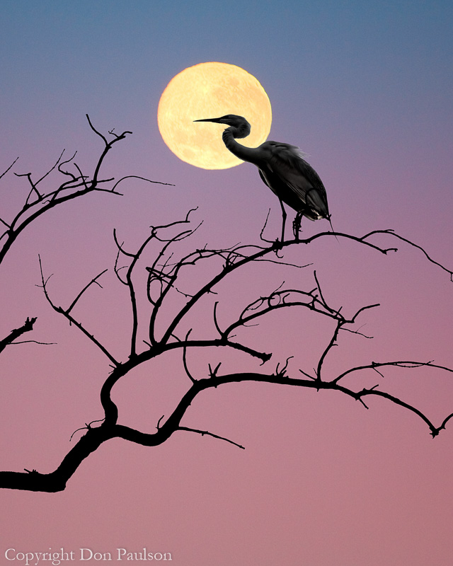 Egret and Moon