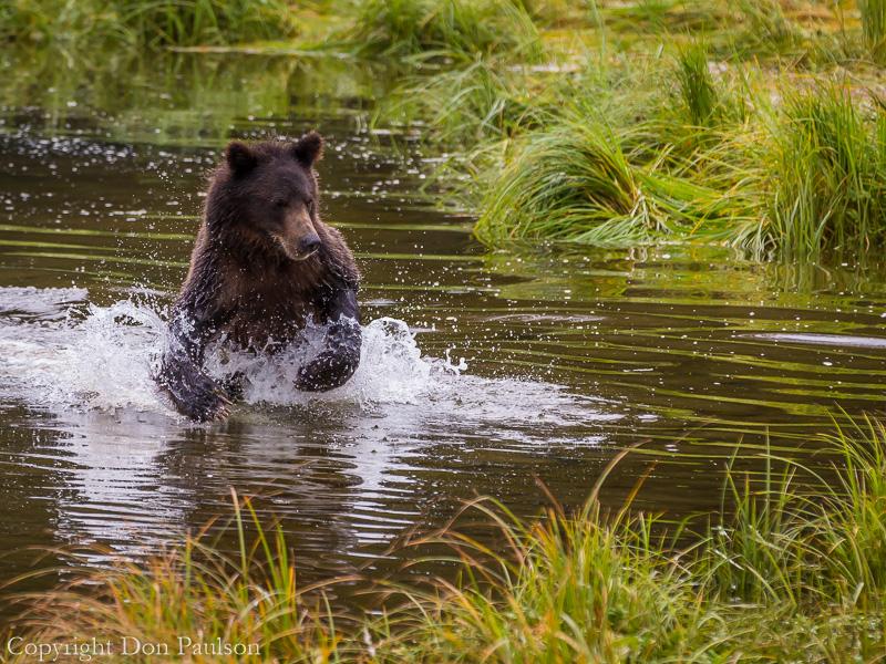 Young brown bear, Pack Creek, Alaska