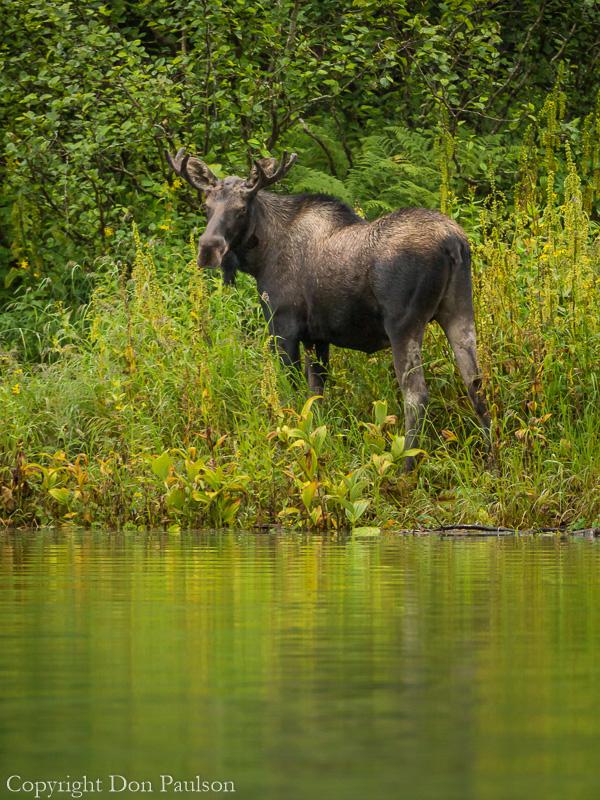 Bull moose along the Stikine River (Shakes Slough)