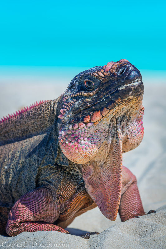 Iguana, Bahamas