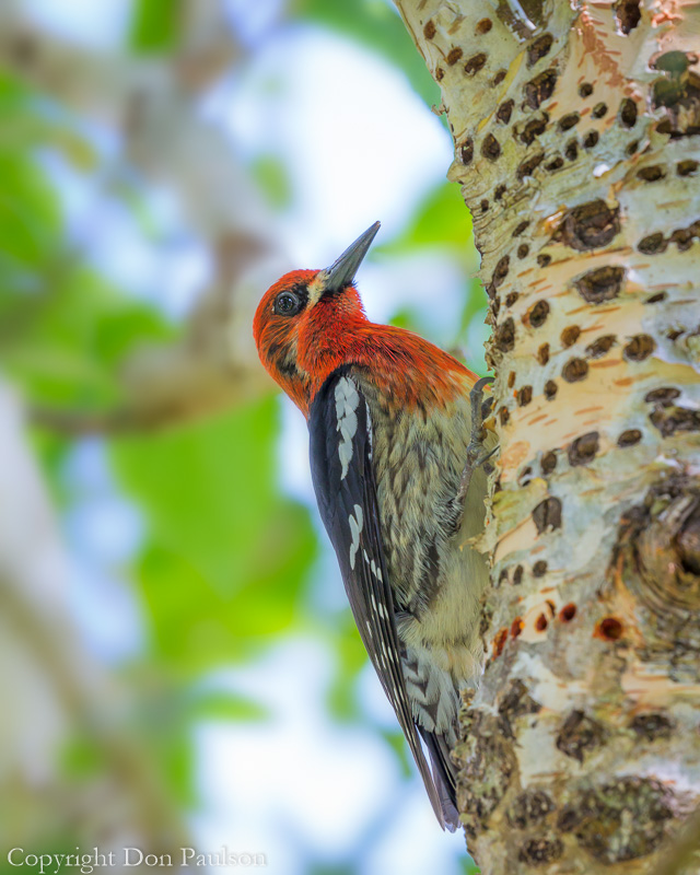 Red-brested Sapsucker