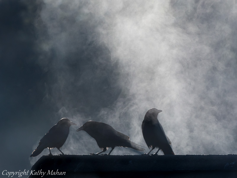 Crows backlit with steam coming from morning sun on a roof top.