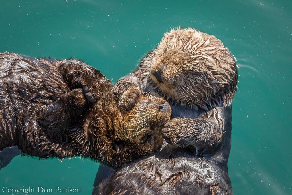 Sea Otter - California, Morro Bay