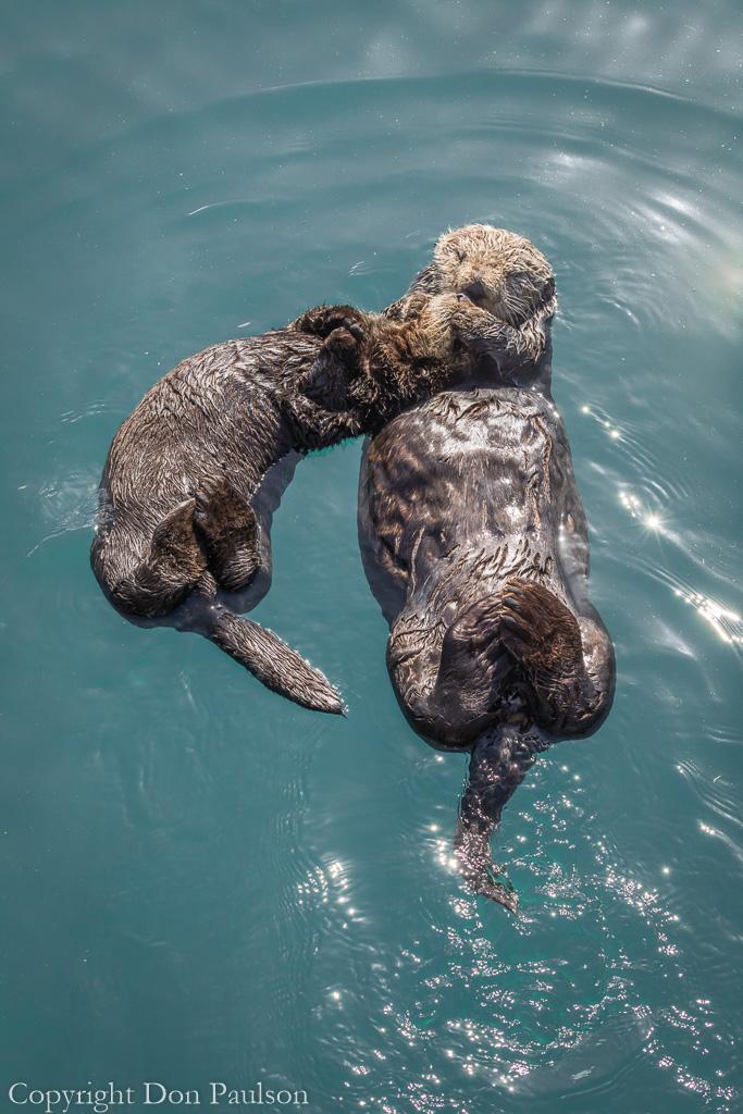 Sea otter with pup - California, Morro Bay
