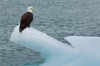 Bald eagle on iceberg, McBride Glacier, Glacier Bay National Park, Alaska