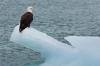 Bald eagle on iceberg, McBride Glacier, Glacier Bay National Park, Alaska