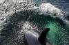 Orca (Killer) whale near Tenakee Springs, Alaska