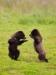 Brown bear cubs playing, Pack Creek, Southeast Alaska