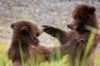 Close up, Brown bear cubs playing, Southeast Alaska
