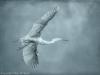 Great Egret (Ardea alba)