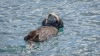 Sea Otter - California, Morro Bay