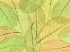 Skeletonized leaves collage-1