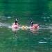 Family of Canada geese, San Juan Islands, Washington
